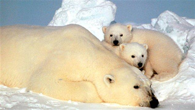 Une ourse et ses oursons. (La Presse Canadienne)