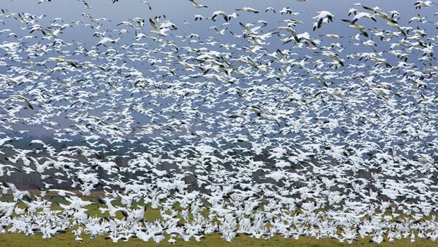 Oies de Ross au Nunavut (Perry Backus/AP)