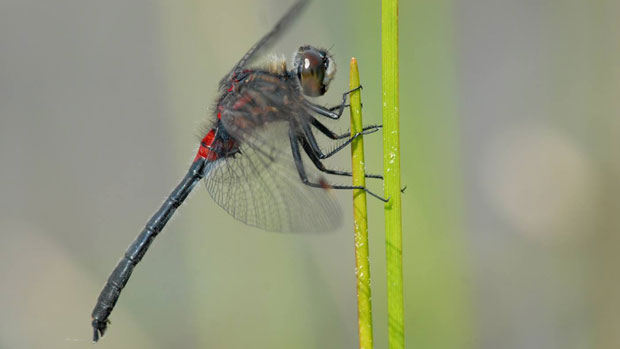 Yukon conservation biologist Cameron Eckert took this photo of a crimson-ringed whiteface dragonfly in Watson Lake. The species was not previously known to live in the territory. (Cameron Eckert)