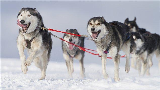 Un attelage de huskies en pleine course (iStock)