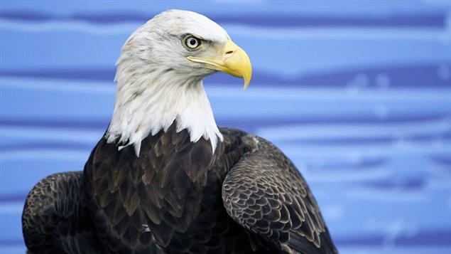 Aigle à tête blanche, de son vrai nom pygargue à tête blanche  Crédit photo : © Mike Blake / Reuters