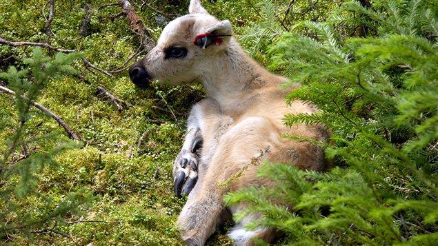 Faon caribou avec émetteur à l'oreille pour le suivi de la prédation. (Réhaume Courtois)