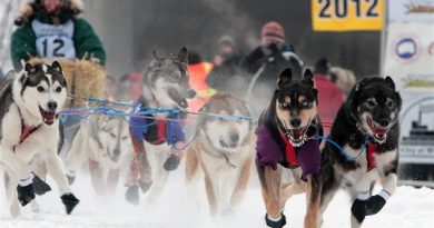 La meute de chiens de Page Drobny mène le bal au départ de la course internationale de traîneau à chiens Yukon Quest, le 4 février 2012 à Fairbanks en Alaska. (Sam Harrel / La Presse Canadienne)