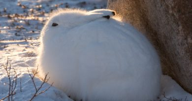 An Arctic hare in Churchill, Manitoba, Canada. (iStock)
