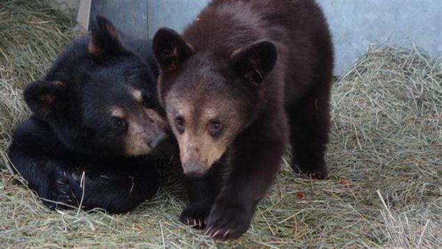 Les oursons de Whitehorse sont partis à Calgary. (Tara McCarthy/CBC)