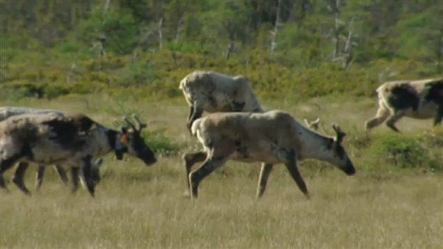Deux chasseurs, dont un Britanno-Colombien, reconnus coupables de non respect des lois sur la faune par un juge yukonnais  ( CBC )