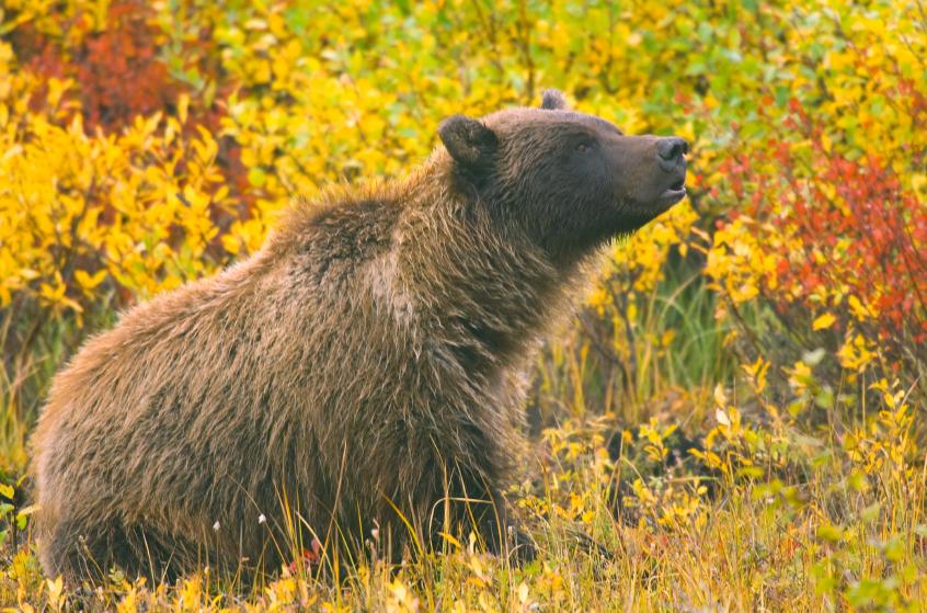 La prise de photos d'ours le long des routes du Yukon devient problématique. Les autorités craignent que les ours se soient familiarisés à la présence humaine, ce qui pourrait les pousser à réagir de façon agressive et conséquemment devoir être abattus. (iStock)
