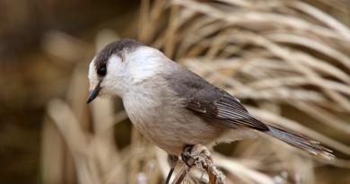 Un oiseau de la forêt boréale du Manitoba. La forêt boréale est l'une des plus grandes zones écologiques de la planète. Elle couvre la majeure partie du nord du Canada et s'étend jusqu'en Scandinavie et dans le nord de la Russie. (iStock)