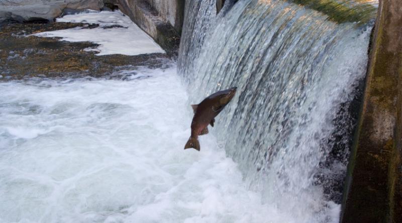 Les saumons kétas sont nombreux cette année dans le fleuve Yukon. (iStock)