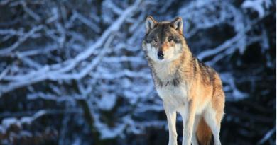 Un loup au Canada. (iStock)