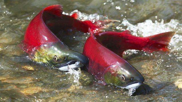 Des saumons rouges. (iStock)