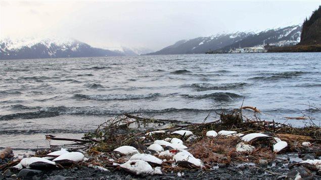 Les scientifiques tentent de trouver une explication à la mort de milliers de Guillemots de Troïl sur une plage du village de Whittier en Alaska. (Mark Thiessen/The Associated Press)
