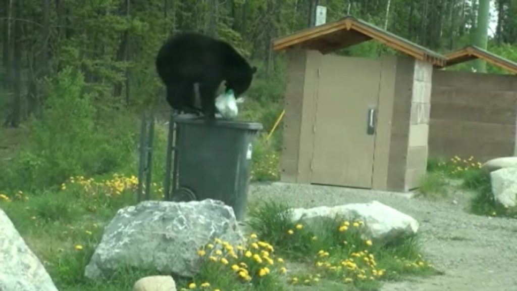 Un ours noir s'attaque aux déchets laissés dans une poubelle à Whitehorse. Photo : Ken Knutson