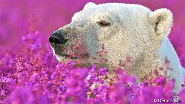 Un ours polaire dans un bain de fleurs au printemps, capturé par le photographe Dennis Fast Crédit photo : Dennis Fast