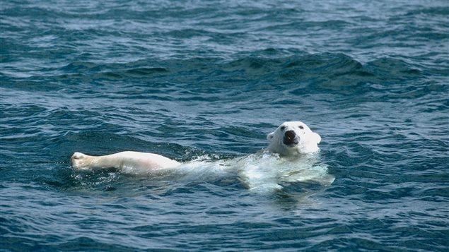Un ours polaire nage dans l'océan Arctique canadien. © Dan Guravich/Polar Bears International