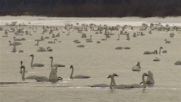 Le nombre de cygnes sur le lac Marsh au sud de Whitehorse pourrait déjà avoir atteint son pic. PHOTO : WAYNE VALLEVAND/ICI RADIO-CANADA