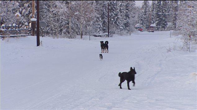 Le village de Ross River a un problème de chiens errants depuis de nombreuses années. Cette photo a été prise en 2011. (Radio-Canada)