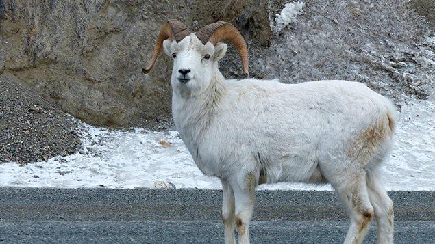 Les mouflons de Dall peuvent être aisément aperçus le long de la route de l'Alaska près du parc Kluane. (SUE THOMAS)