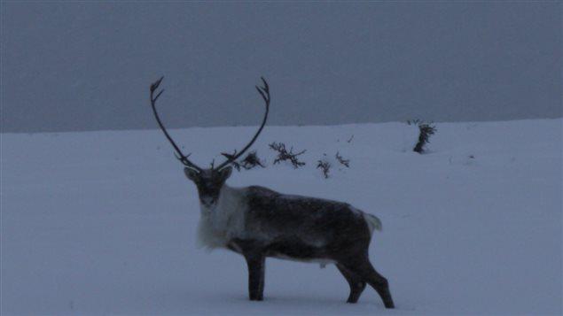 La harde de caribous Porcupine migre du nord de l'Alaska à travers le nord du Yukon jusqu'aux Territoires du Nord-Ouest. (Meagan Deuling/CBC)