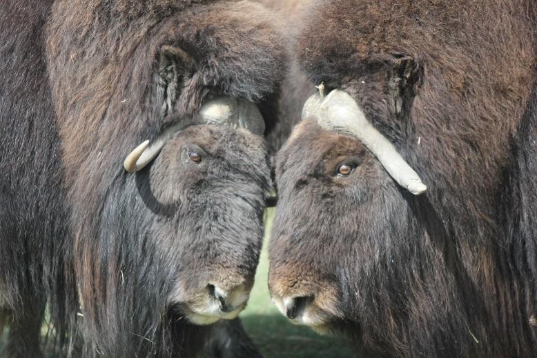 Les boeufs musqués sont des vestiges de la période glaciaire. « Génétiquement, les boeufs musqués sont vraiment uniques. Il n'y a vraiment rien qui s'y apparente de près », dit la vétérinaire Susan Kutz. Les boeufs musqués que l'on voit ci-dessus ont été pris en photo au zoo de Calgary, en Alberta, au Canada. Ce sont des descendants du type de boeufs musqués que l'on trouve sur l'île Victoria. (Regard sur l'Arctique)
