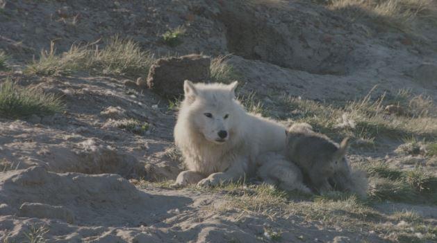 photographe-passe-ete-vivre-avec-loups-arctiques