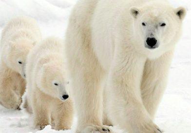 Sauvetage d'une maman ourse polaire et de son ourson