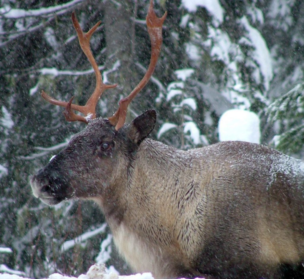 charity-group-sues-canadian-government-over-caribou-1