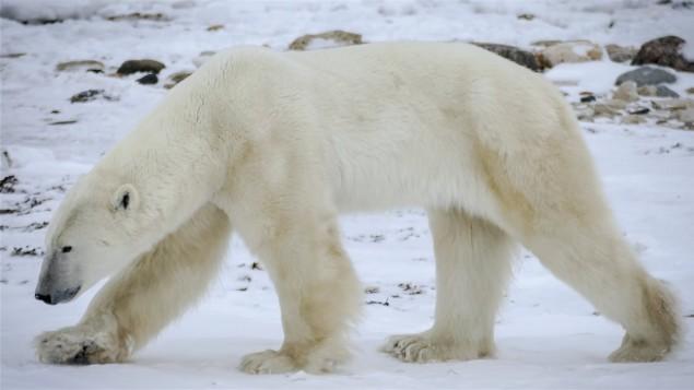 changements-climatiques-les-ours-polaires-pourraient-avoir-de-plus-en-plus-de-difficulte-a-chasser