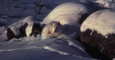 les-renards-polaires-de-la-baie-dhudson-sont-victimes-du-rechauffement-climatique