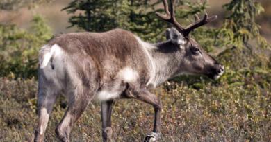 Relocalisation de caribous du Québec : les protestations se multiplient