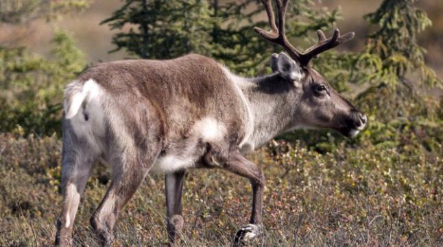 des-voix-selevent-contre-la-relocalisation-de-caribous-forestiers-du-quebec