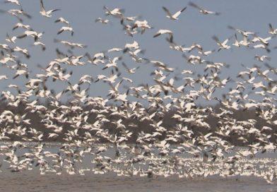 Des États-Unis au Nunavut, le long périple des oies blanches