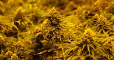 le-yukon-sonde-lopinion-publique-sur-la-legalisation-du-cannabis