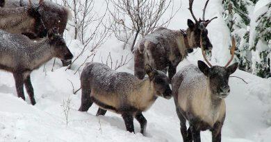 chasser-lorignal-plutot-que-le-loup-pour-proteger-les-caribous