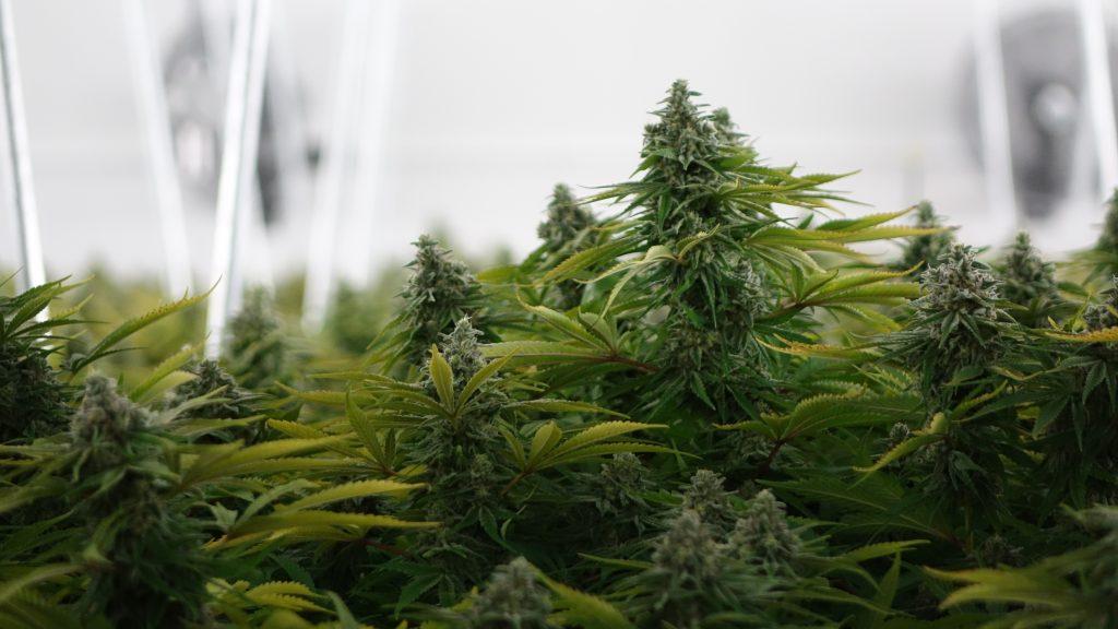 Le nord canadien se pr pare la l galisation du cannabis for Graine de cannabis interieur