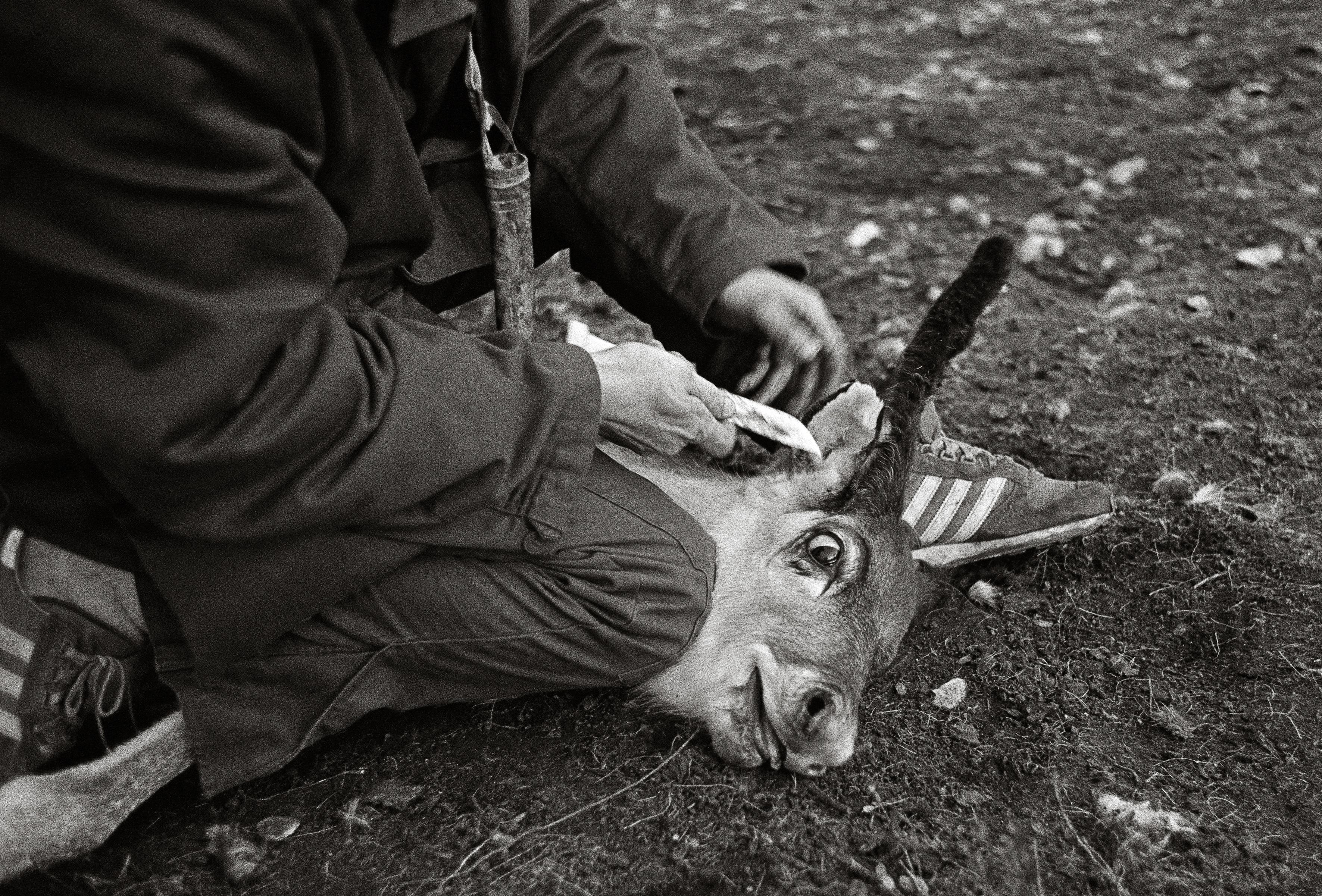 Chaque propriétaire de renne à une façon de marque sa bête. (Courtoisie de Fred Ivar Utsi Klemetsen)