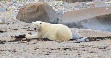 Un documentaire sur trois espèces d'ours du Canada