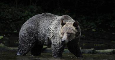 Un compositeur de musique français tué par un grizzly dans le Nord canadien