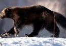 Des chercheurs découvrent une nouvelle espèce de parasites chez les carcajous du Nord