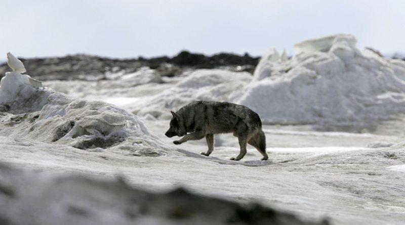 Les chiens auraient accompagné les premiers humains dans le Grand Nord