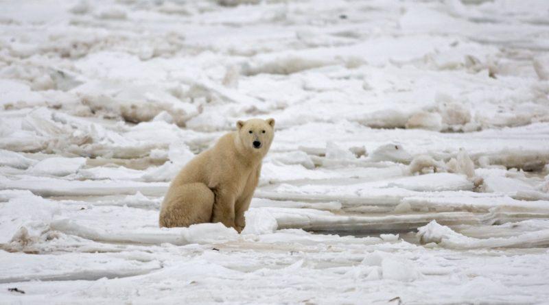 L'Université d'Oxford recherche des volontaires pour un projet de recherche sur les ours polaires
