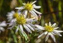 Une fleur protégée unique dans le Grand Nord canadien