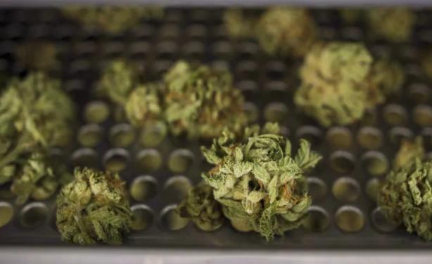 你合法、我降价:黑市大麻真便宜